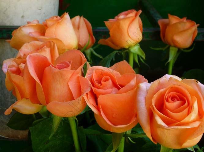 2-roses-palermo-italia-copy