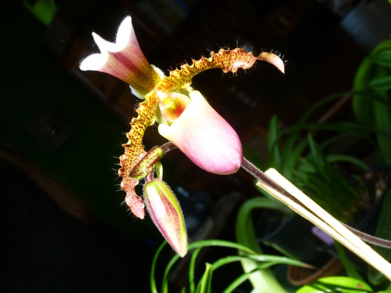 paphiopedilum-2-marina