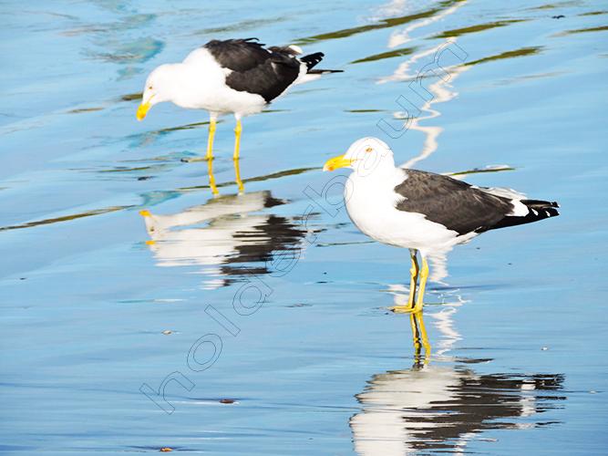 a4 Seagulls
