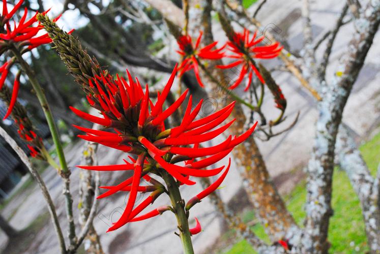 coral-tree-erythrina-copy
