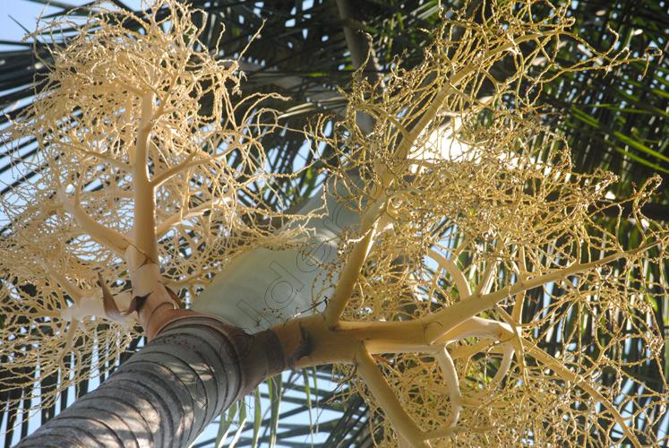 palmeira-real-1-copy