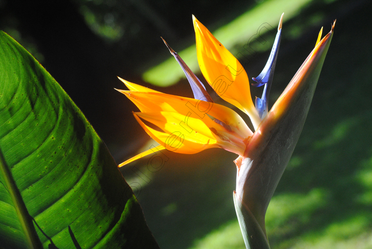 1gramado-1-strelitzia-bird-of-paradise-flower-copy (1)