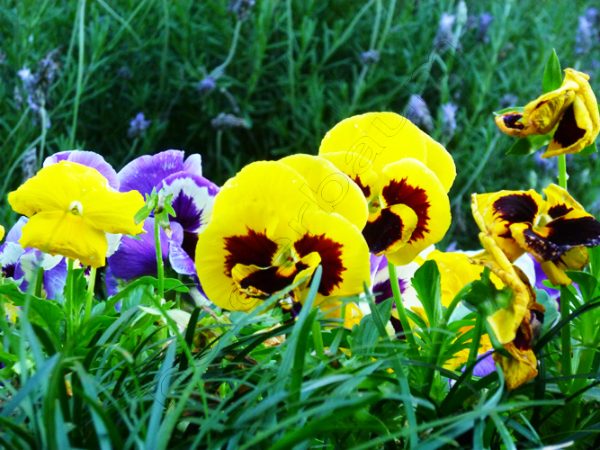 6gramado-6-amor-perfeitopansy-flower-brasil-copy