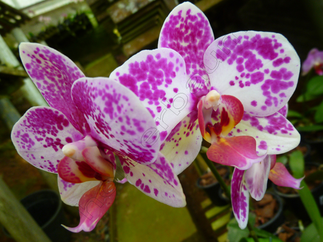 9phalaenopsis-3-joinville-copy