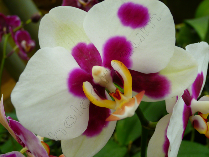 11phalaenopsis-4-joinville-copy