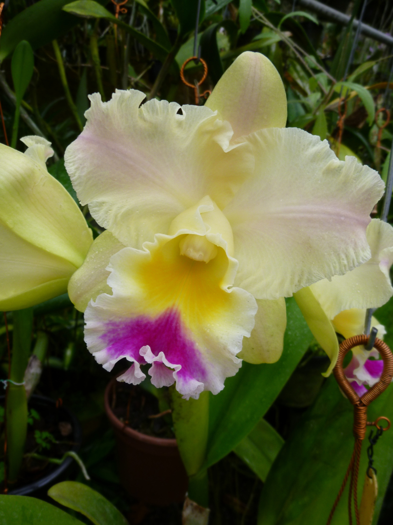 blc-goldenzelle-taida (1)