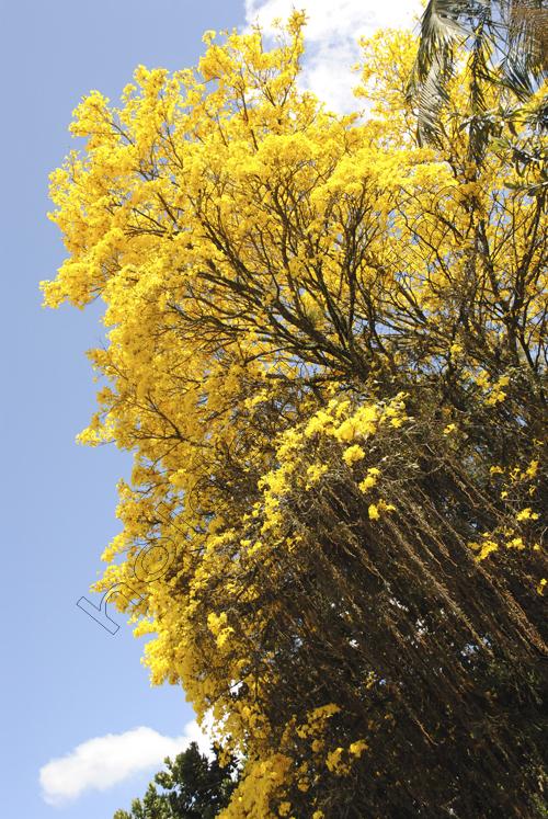 1joinville-ipe-amarelo-1dsc_0158 (1)