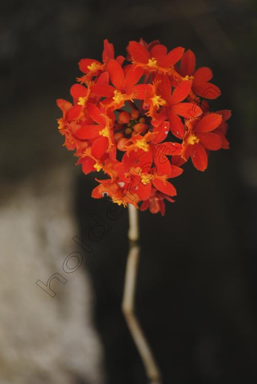 orchid-dsc_0652