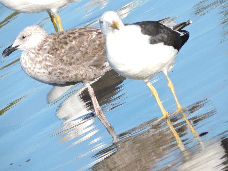 hbarra-velha-2-seagulls.jpg