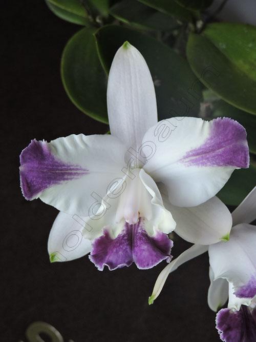 1-cattleya-intermedia-flamea-coerulea-dscn8488