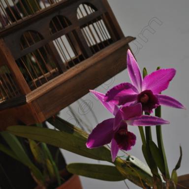 0x12c-orchid-joinville-dsc_3155-cc3b3pia