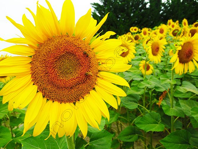 12sunflowers-fields-arles-provence-p1210144