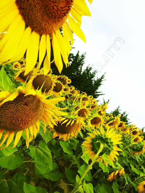 9sunflowers-fields-arles-provence-p1210134
